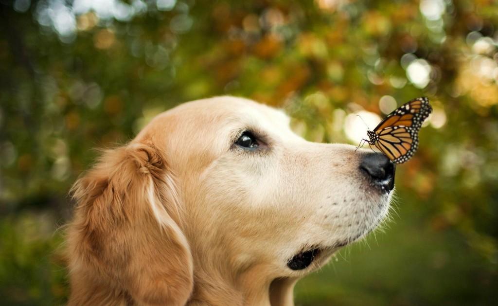 felicidade-labrador-borboleta-#belicosa55